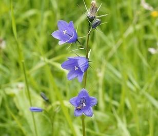 Harebell (Campanula rotundifolia) Seeds