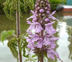 Woundwort, Marsh (Stachys palustris) Plant