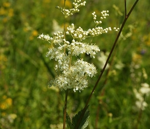 Meadowsweet (Filipendula ulmaria) Seeds