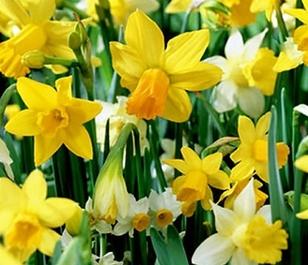 Mixed Daffodil Bulbs - Bulk Buy