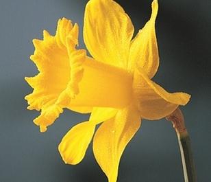 Golden Harvest Daffodil Bulbs