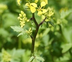 White Mustard Seed - (Organic)