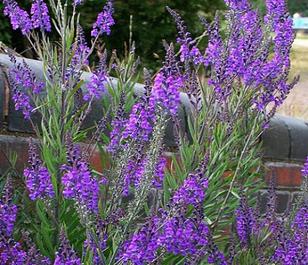 Toadflax, Purple (Linaria purpurea) Plant