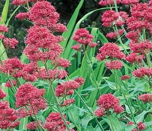 Valerian, Red (Centranthus ruber) Plant