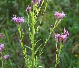 Saw-wort (Serratula tinctoria) Plant