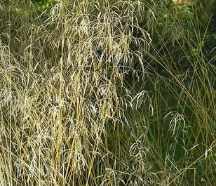 Tufted Hair-grass (Desch. caespitosa) Seeds