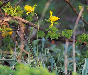 BS Wild Tulip Bulbs 'In The Green' (Tulipa sylvestris)