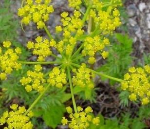 Parsnip, Wild (Pastinaca sativa) Seeds