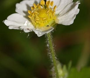Strawberry, Wild (Fragaria vesca) Seeds