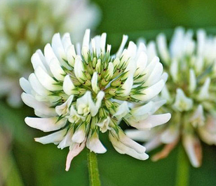 White Clover Seed (Trifolium repens)