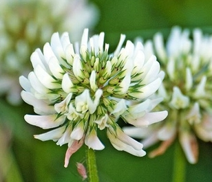 Clover, Wild White (Trifolium repens) Plant