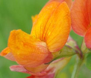 Trefoil, Bird's-foot (Lotus corniculatus) Seeds