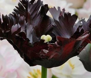 Black Parrot Tulip Bulbs - Bulk Buy