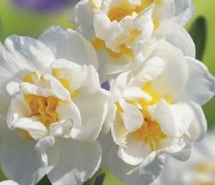 Bridal Crown Narcissi Bulbs