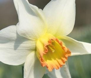 Interim Narcissi Bulbs