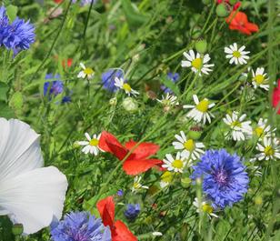 BSDP 100% Diamond Jubilee Annual Wildflower Seeds