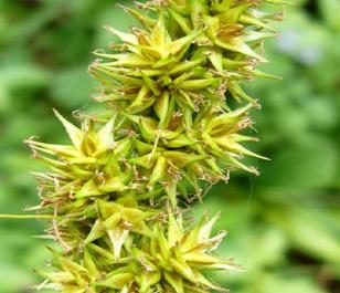 Sedge, False Fox (Carex otrubae) Plant