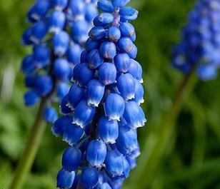 BS Grape Hyacinth Bulbs (Muscari neglectum)