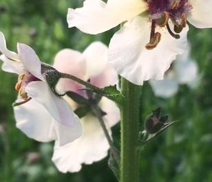Mullein, Moth (Verbascum blattaria) Plant