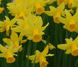 February Gold Narcissi Bulbs