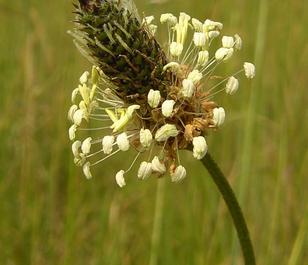 Plantain, Ribwort (Plantago lanceolata) Plant