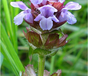 Self-heal (Prunella vulgaris) Seeds