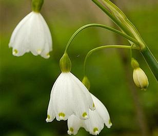 BS Summer Snowflake Bulbs 'In The Green' (Leucojum aestivum)