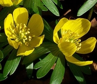 BS Winter Aconites Bulbs 'In The Green' (Eranthis hyemalis)