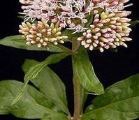 Agrimony, Hemp (Eupatorium cannabinum) Plant