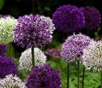 Allium Surprise Bulb Collection