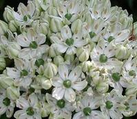 Multi Bulbosum Nigrum Allium Bulbs