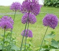 Purple Sensation Allium Bulbs