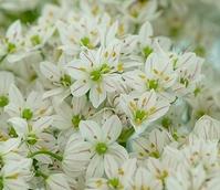 Neapolitanum Allium Bulbs
