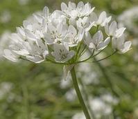Cowanii Allium Bulbs