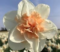 Delnashaugh Daffodil Bulbs