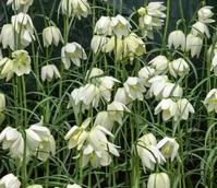 Alba Fritillaria Meleagris Bulbs