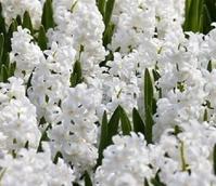 Carnegie White Hyacinth Bulbs