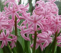 Fondant Hyacinth Bulbs