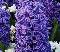 Blue Jacket Hyacinth Bulbs