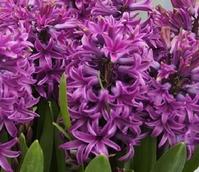 Purple Sensation Hyacinth Bulbs