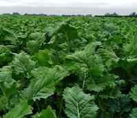 Bombardier Kale Seed