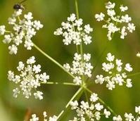 Saxifrage, Burnet (Pimpinella saxifraga) Plant - Boston Seeds