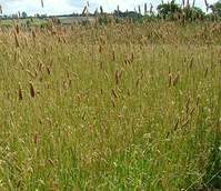 Canary Grass - Aquatica