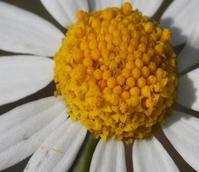 Chamomile, Corn (Anthemis arvensis) Plant