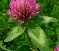 Clover, Wild Red (Trifolium pratense) Plant