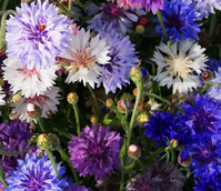 ColourMax 8 - Cornflower Splash