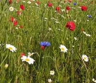 BSPOPM: Commemorative Poppy Wildflower Seeds
