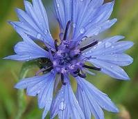Cornflower (Centaurea cyanus) Seed