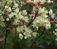 Dropwort (Filipendula vulgaris) Plant