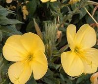 Evening-Primrose (Oenothera biennis) Plant